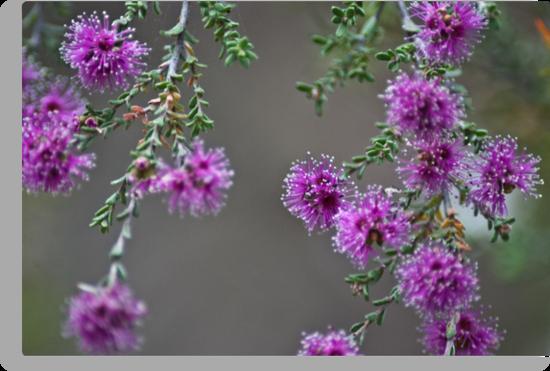 Conimbla Wildflower by garts