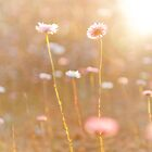 Everlastings by Sue-ann Tilby Photography