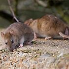 Common Brown Rats by Nigel Bangert