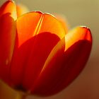 Tulip by Sue-ann Tilby Photography