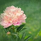 Peony Elegance by Trudy Wilkerson