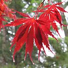 Raindrops are Fallin' . . . on Red Maple Leaves by Pat Yager