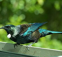 The male Tui in all his glory.............! by Roy  Massicks