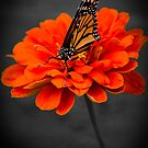 Butterfly On Orange Flower by jphphotography