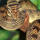 Amethyst Python by neil harrison