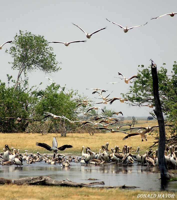 March Pelicans by Donald  Mavor