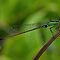 Damselfly, March Bluetail. (Ischnura senegalensis) by DebbyTownsend