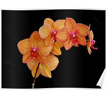 Yellow with red veining orchid Poster