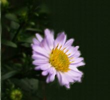 MICHAELMAS DAISY by OlaG