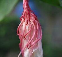 Night Queen (aka) Dutchman's Pipe _ phase II by Poete100