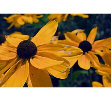 Black Eyed Susan Flowers Photographic Print