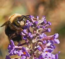 Male Eastern Carpenter Bee by Otto Danby II