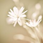 Soft photo of small white flower by marina63