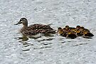 A Clutch of Ducklings. by Alwyn Simple