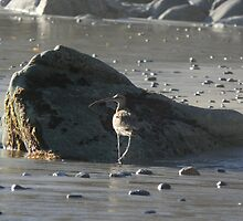 Curved Bill Sand Piper by Robert Ball