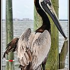 Brown Pelican Struts His Stuff by Mikell Herrick
