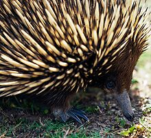 Ernie The Echidna by Malcolm Katon