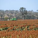 Harvesting Sorghum for Feed by Saraswati-she