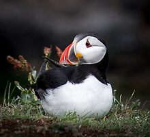 Puffins (II), Lunga Island, Scotland by JourneyPhotos