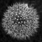 Dandelion Dreams by DavidWHughes