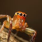 (Prostheclina pallida) Male Jumping Spider by Kerrod Sulter