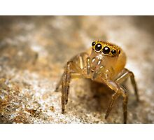 (Prostheclina pallida) female Jumping Spider Photographic Print