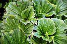 Macquarie Island Cabbage by Carole-Anne