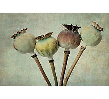 Poppy pods Photographic Print