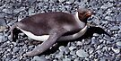Juvenile King Penguin Sun Bathing by Carole-Anne