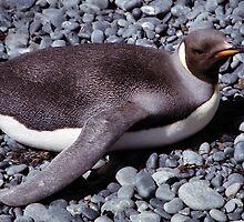 Juvenile King Penguin Sun Bathing by Carole-Anne
