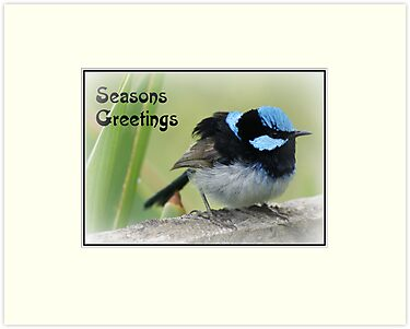 Christmas card - Superb Blue Wren by BronReid