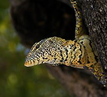 Water Monitor Lizzard by PBreedveld