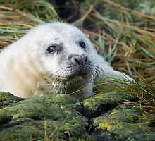 Atlantic Grey Seal Pup by Chris McIlreavy