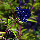 Sambucus by alecksmart
