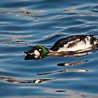 Goldeneye Duck by Margaret S Sweeny