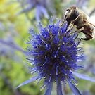 Solitary Bee feeding on Sea Holly nectar by astralsid