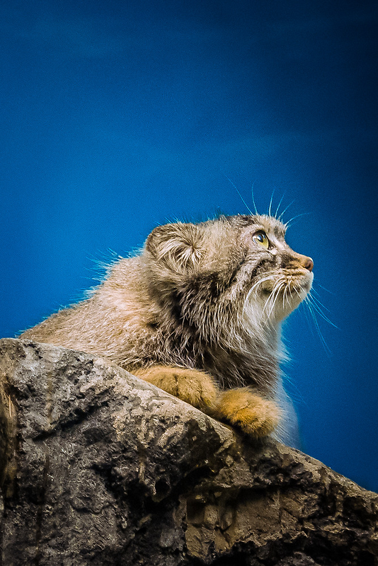 Pallas Cat by Sean Balanger