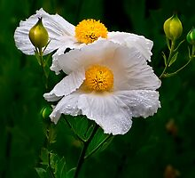 Matilija poppies for iPad by Celeste Mookherjee