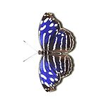 Butterfly - Royal Blue by Mark Podger