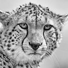 Cheetah Portrait by Mark Hughes