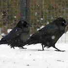 Ravens' Snow Stroll by DWMMPhotography