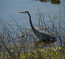Great Blue Heron at Viera Wetlands by ValeriesGallery