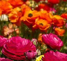 A profusion of ranunculus colors for iPad by Celeste Mookherjee