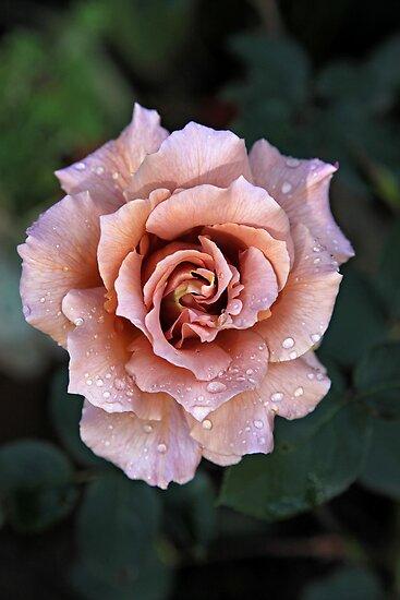Julia's rose by Sherie Howard