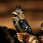 African Art Crested Barbet by Leigh Diprose