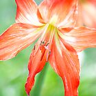 Jayne Eldred&#x27;s &#x27;Christmas Lilly&#x27; by Art 4 ME