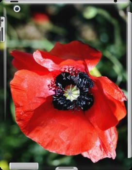 Red Poppy Flower by Vicki Field