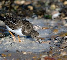 Turnstone by Nigel Bangert