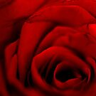 Red Rose by lumiwa