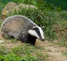 European Badger cub by Sue Robinson